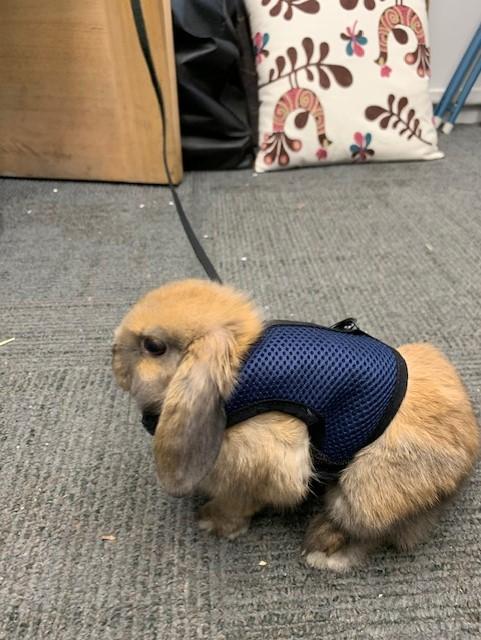 Pet Rabbit Percy